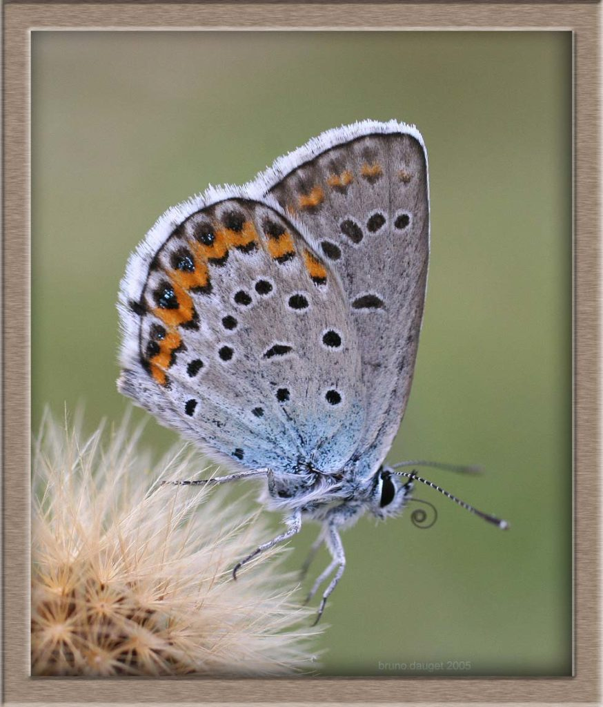 Azuré du Genêt posé ailes repliées en train d'enrouler sa trompe