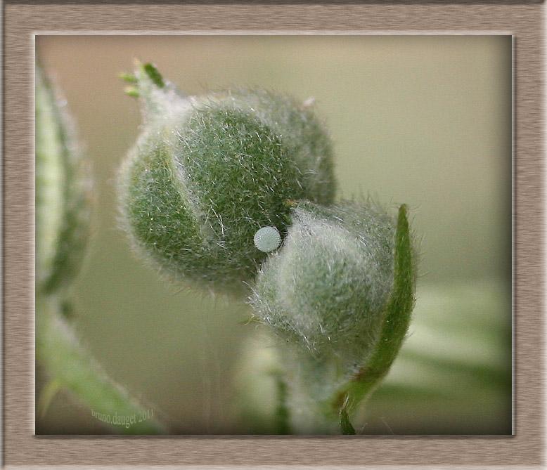 Oeuf d'Azuré des Nerpruns fixé sur bouton floral de Ronce