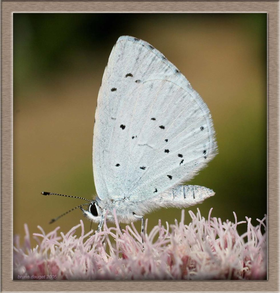 Azuré des Nerpruns butinant fleur d'Eupatoire chanvrine ailes repliées