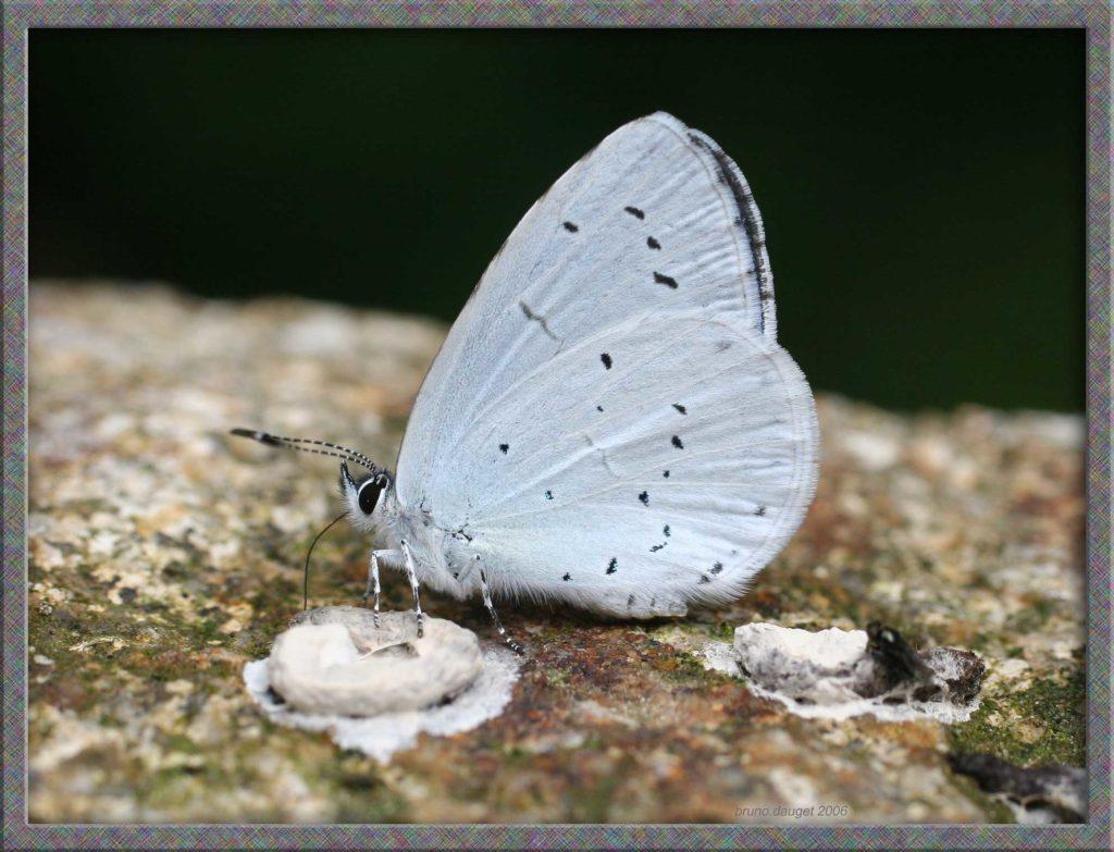 Azuré des Nerpruns posé sur une pierre ailes repliées