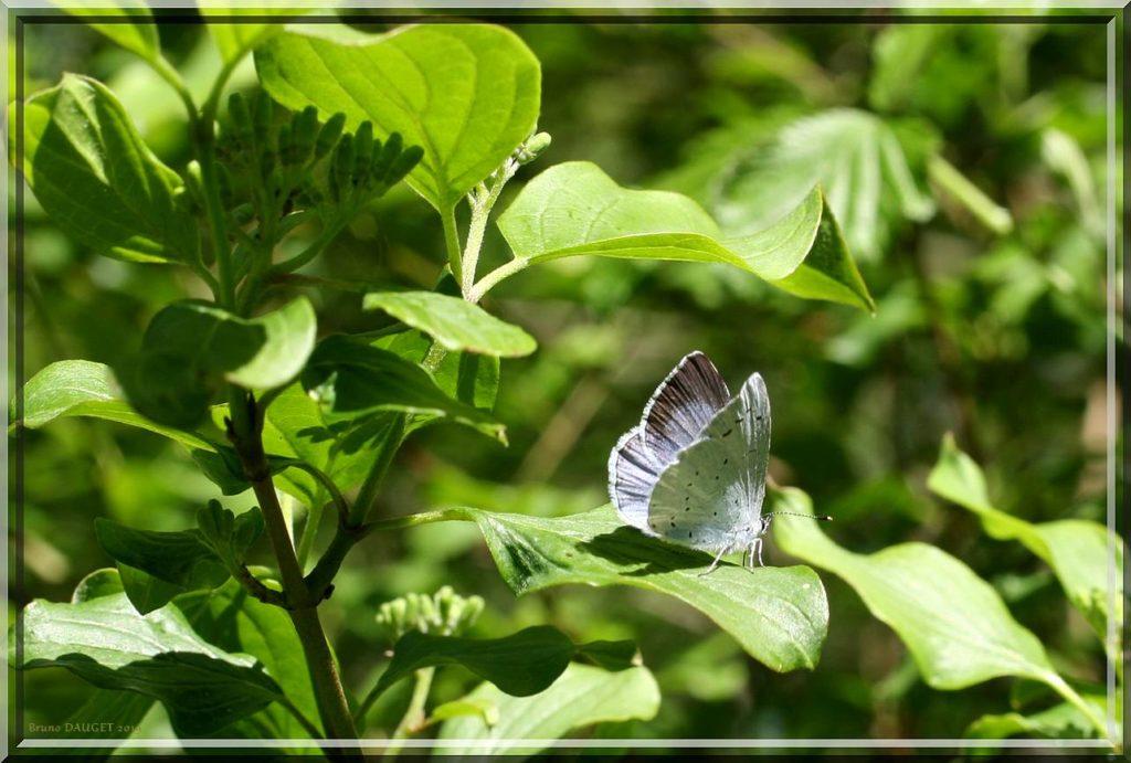 Azuré des Nerpruns femelle posé sur feuille de Nerprun ailes entre-ouvertes