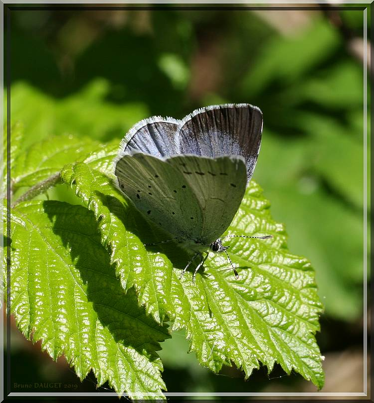 Azuré des Nerpruns femelle posée sur feuille de Ronce ailes entre-ouvertes