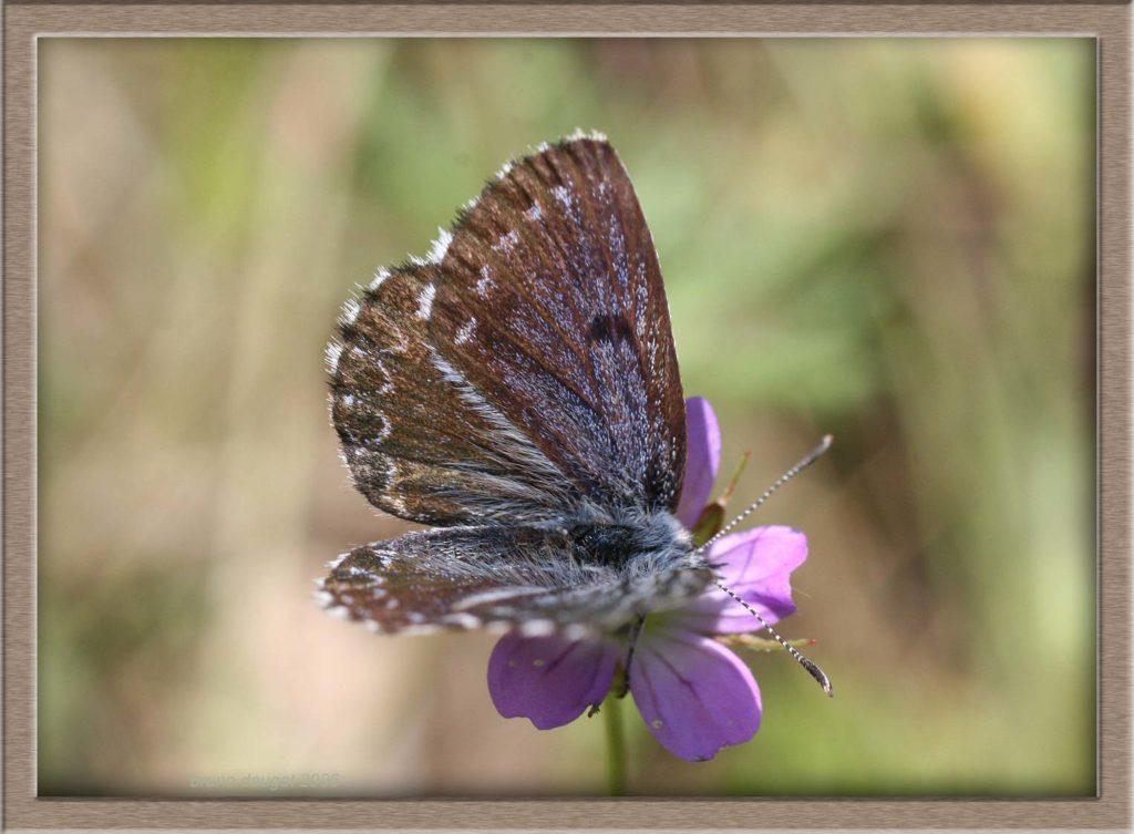 Azuré des Orpins mâle butinant une fleur rose ailes écartées