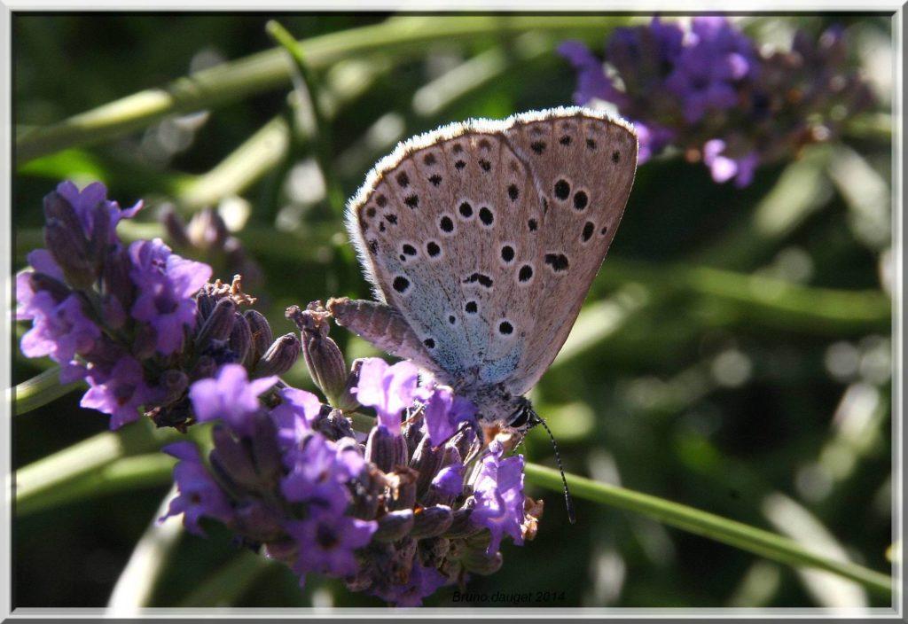 Azuré du Serpolet femelle butinant fleur de Lavande ailes repliées