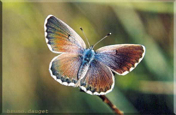 Azuré du thym femelle posée sur tige ailes écartées
