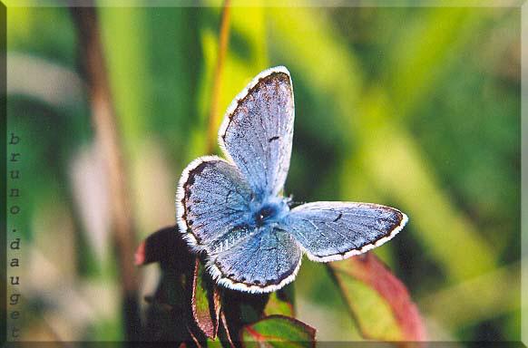 Azuré du thym mâle posé sur feuille ailes écartées