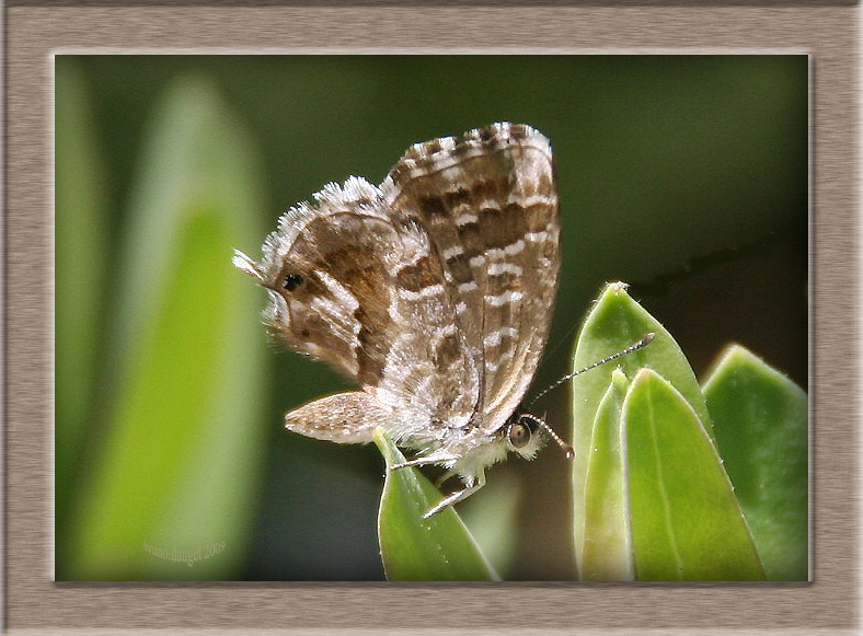 Brun du Pélargonium sur feuille ailes repliées