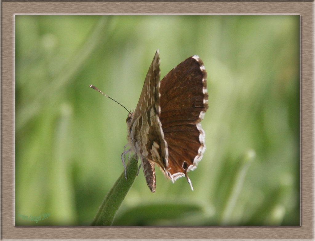 Brun du Pélargonium posé sur herbe ailes entre-ouverte