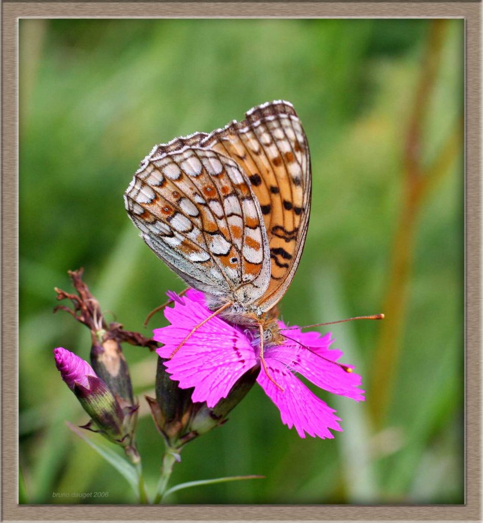 Chiffre butinant une fleur mauve d'oeillet ailes repliées