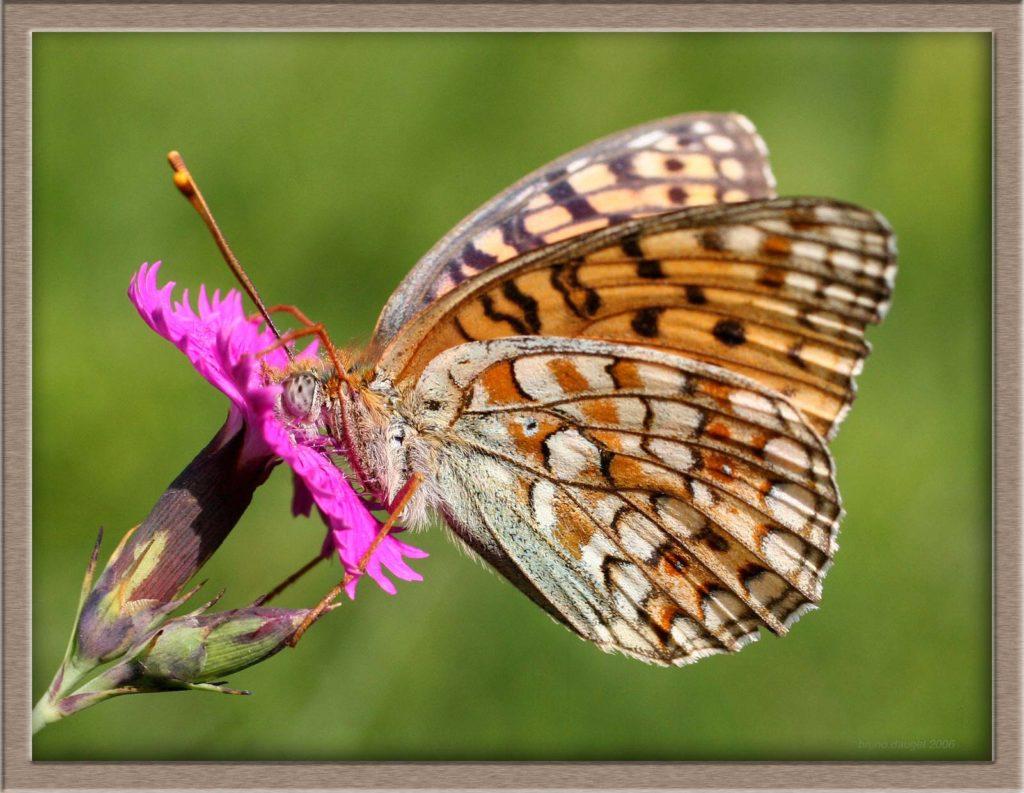 Chiffre butinant une fleur mauve d'Oeillet ailes entre-ouvertes