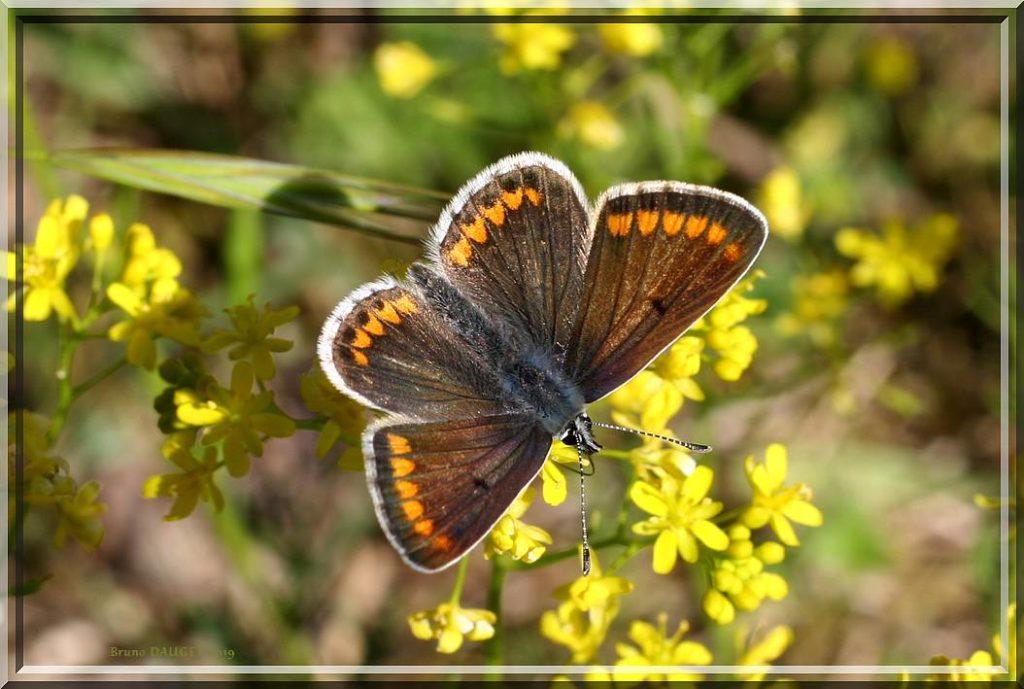 Collier-de-corail posé sur fleurs jaunes ailes écartées