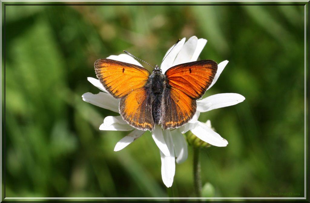 Cuivré écarlate mâle posé sur fleur blanche de Marguerite ailes écartées