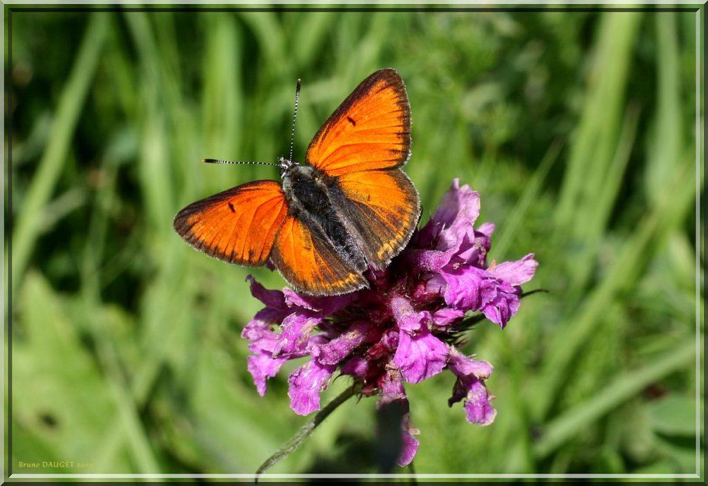 Cuivré écarlate mâle posé sur fleur mauve ailes écartées