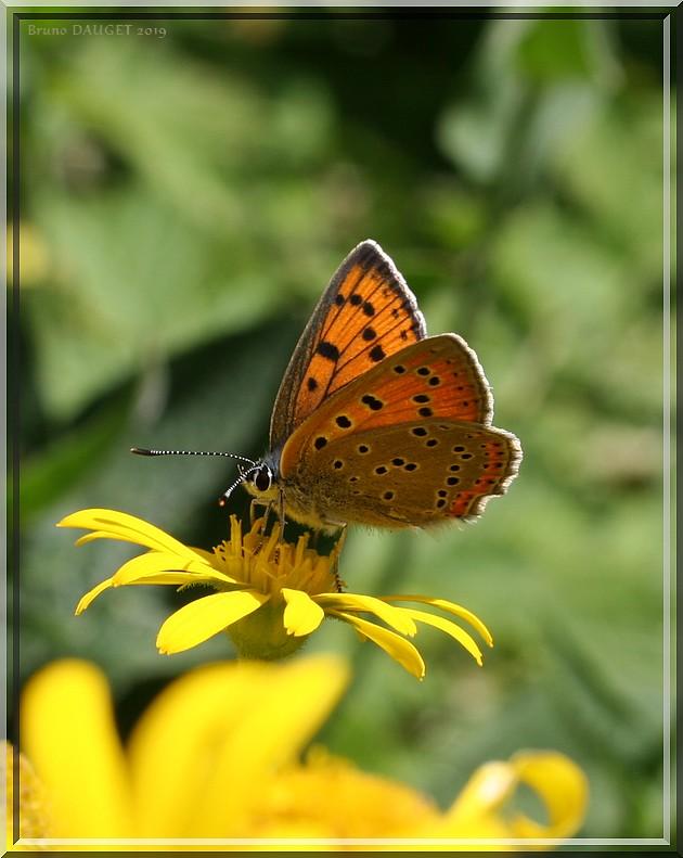 Cuivré écarlate femelle butinant fleur jaune d'Arnica ailes entre-ouvertes