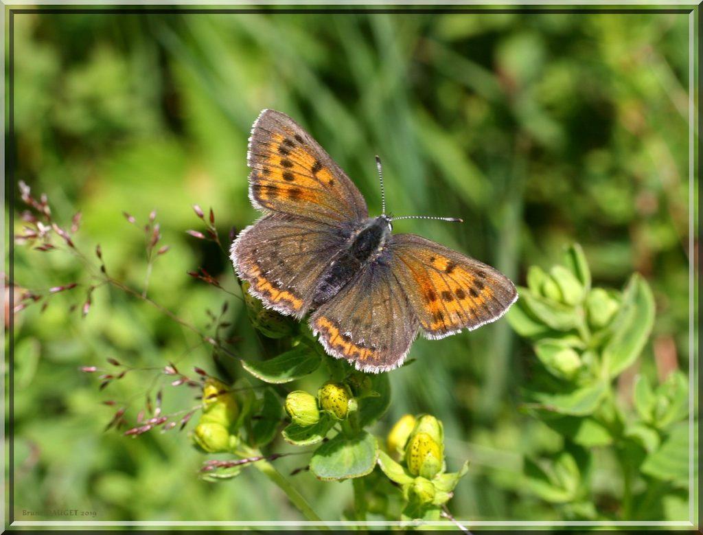 Cuivré écarlate femelle posée ailes écartées