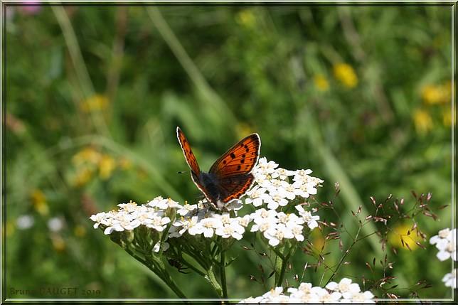 Cuivré écarlate femelle posé sur fleur blanche d'Achilée ailes écartées
