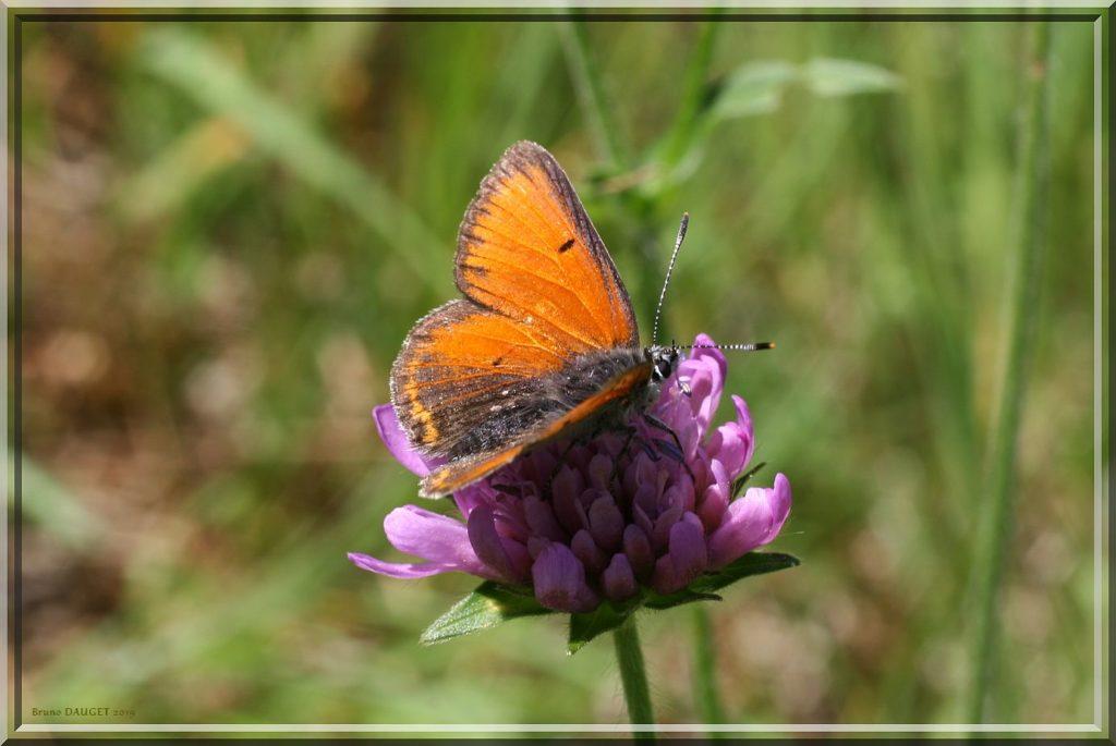 Cuivré écarlate mâle posé fleur mauve de Scabieuse ailes écartées