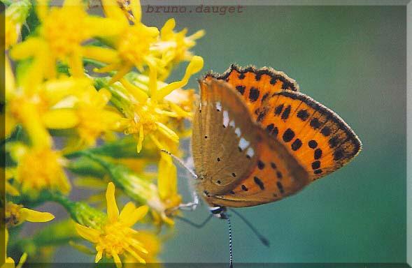 Cuivré de la Verge-d'or femelle butinant une fleur jaune