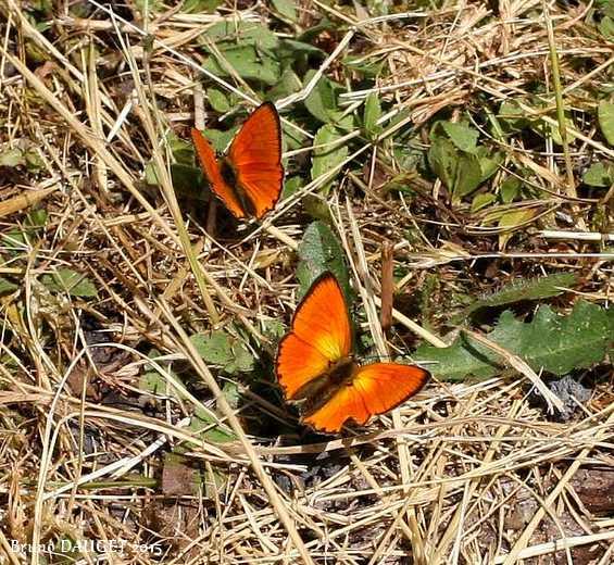 Deux Cuivré de la Verge-d'or mâles posés au sol ailes écartées