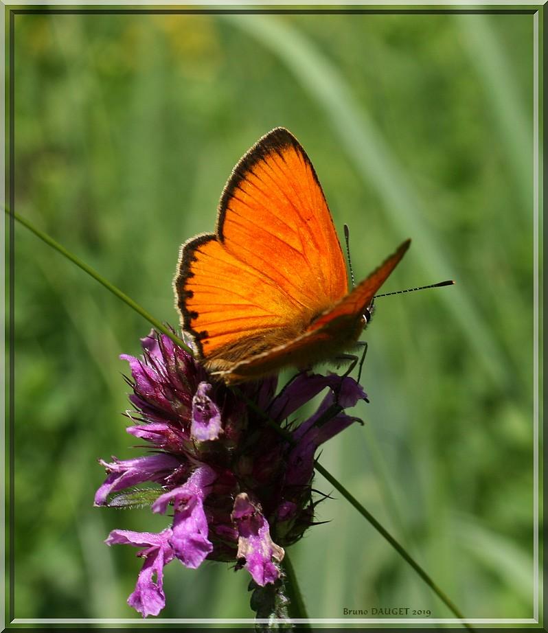 Cuivré de la Verge-d'or mâle posé sur fleur mauve ailes écartées