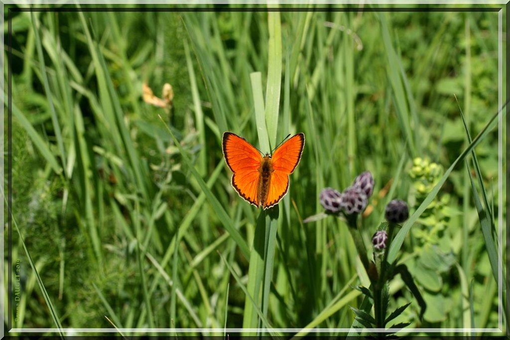 Cuivré de la Verge-d'or mâle posé sur herbe ailes écartées