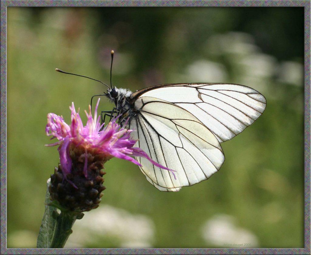 Gazé butinant fleur mauve de Centaurée ailes écartées