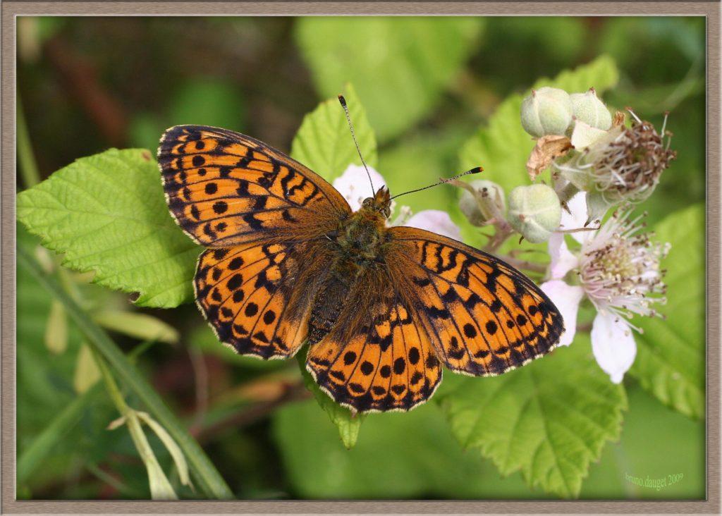 Grand Collier argenté butinant fleur de Ronce ailes écartées