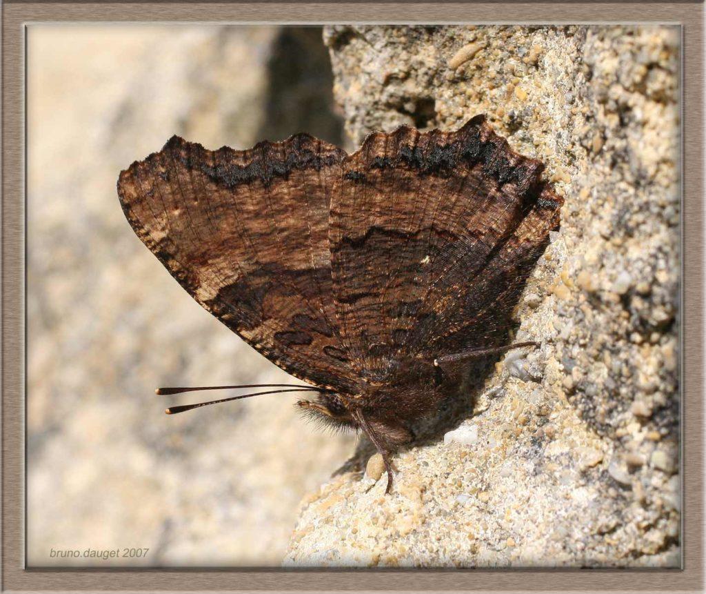 Grande Tortue posée au sol ailes repliées