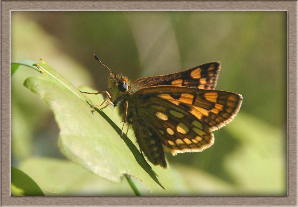 Hespérie du Brome posée sur feuille ailes écartées en direction du soleil