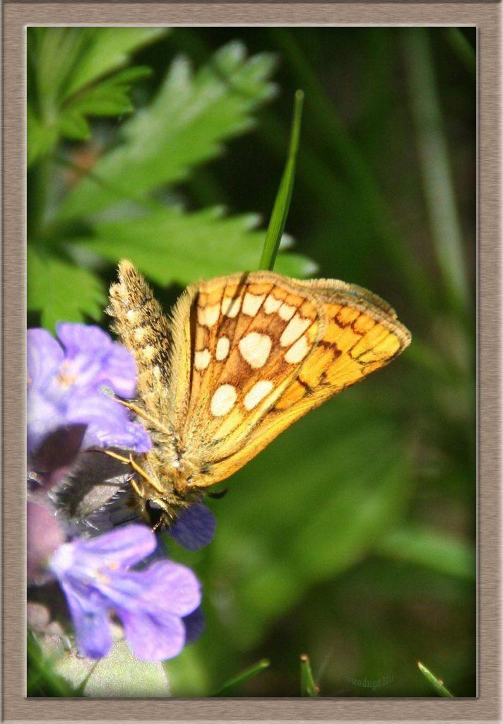 Hespérie du Brome posée sur fleur bleu de Bugle ailes repliées