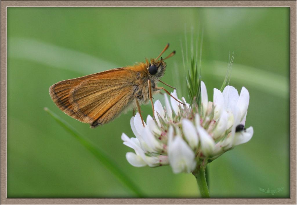 Hespérie du Dactyle posée sur fleur blanche de Trèfle ailes repliées