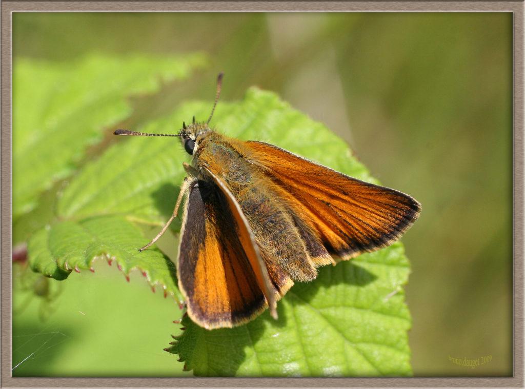 Hespérie du Dactyle posée sur feuille de Ronce ailes écartées