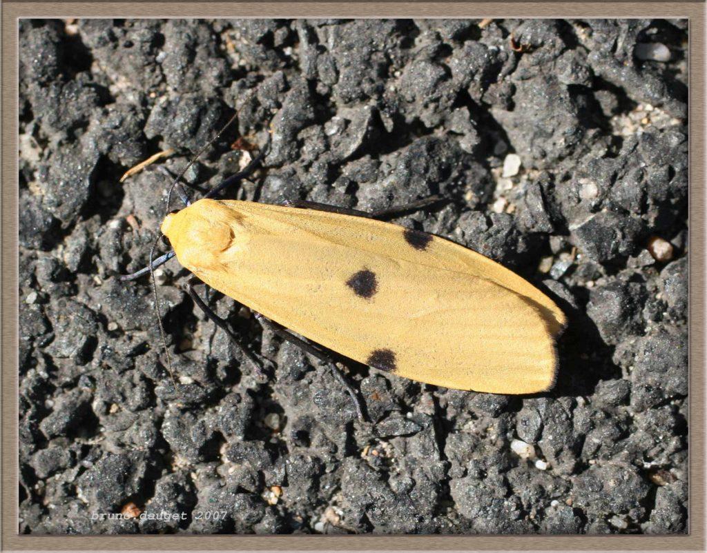 Lithosie quadrille femelle posée au sol ailes repliées