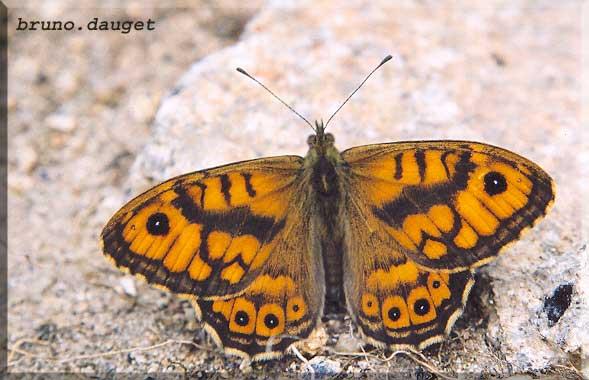 Satyre posé au sol ailes écartées