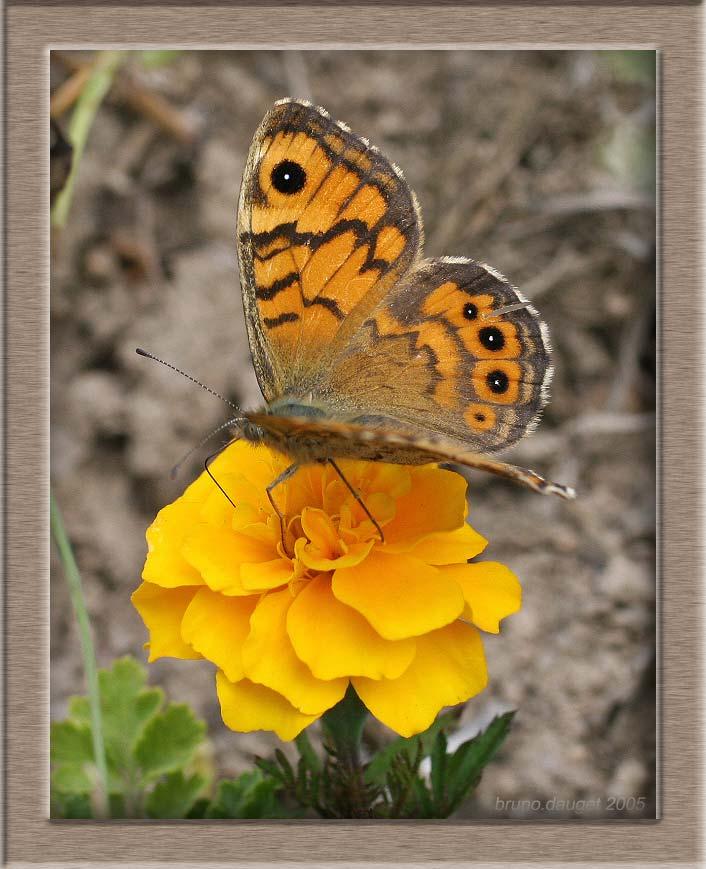 Mégère butinant une fleur orange de Tagette ailes écartées