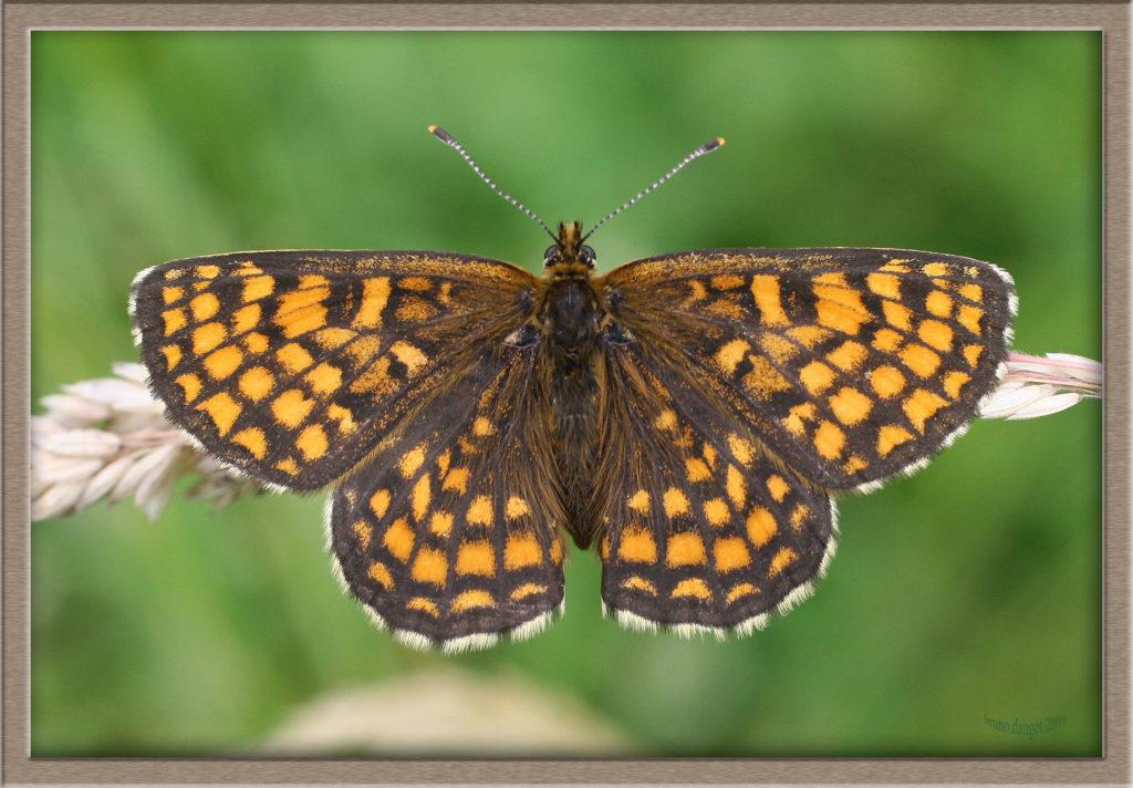 Mélitée du Mélampyre posée sur graminée ailes écartées