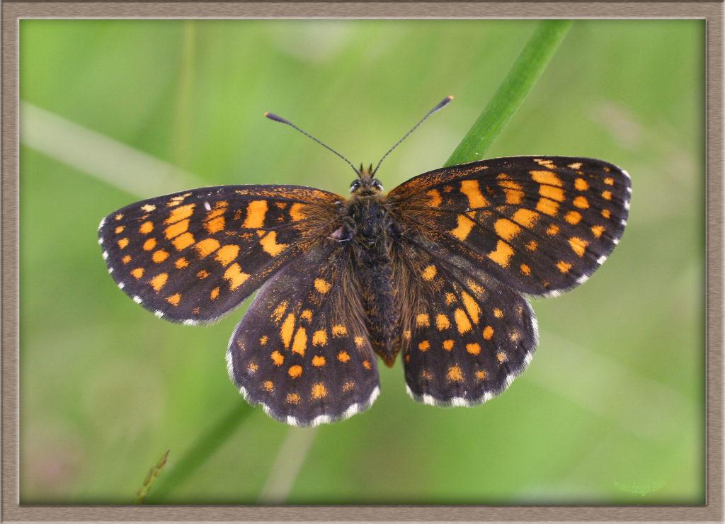 Mélitée du Mélampyre posée sur herbe ailes écartées