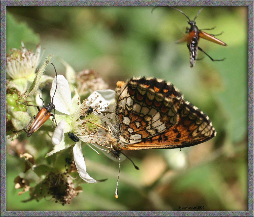 Mélitée du Mélampyre butinant fleur de Ronce ailes repliées
