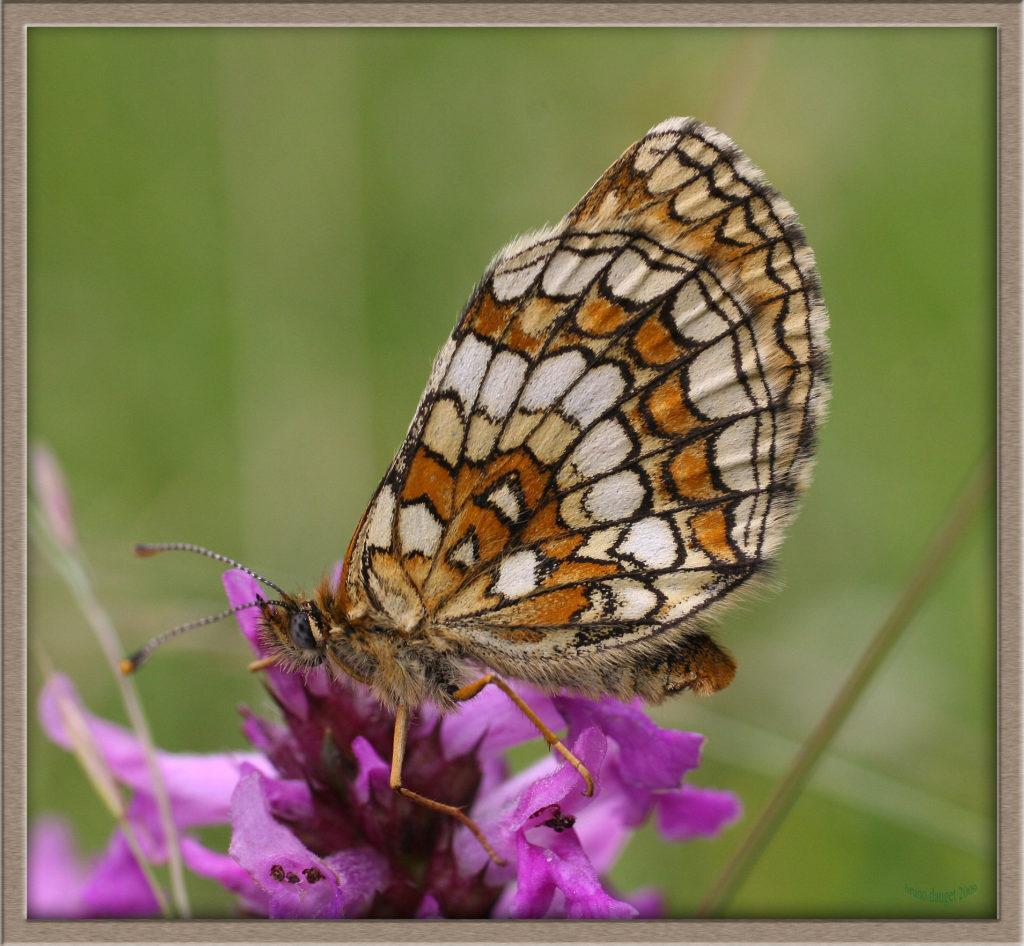 Mélitée du Mélampyre posée sur fleur mauve ailes repliées