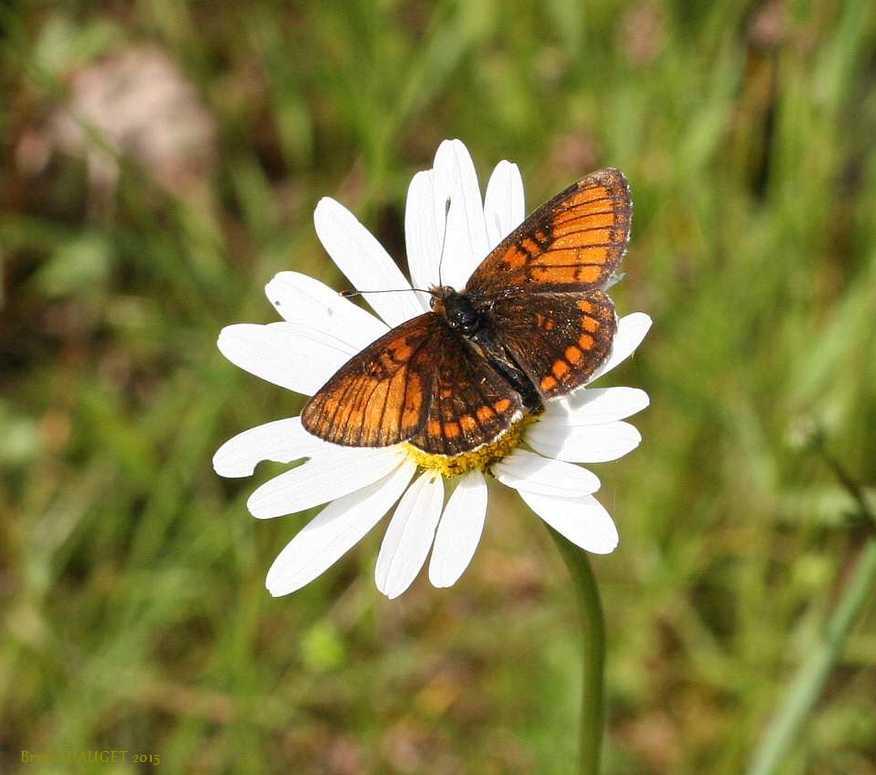 Mélitée du Mélampyre posée sur fleur blanche de Marguerite ailes écartées