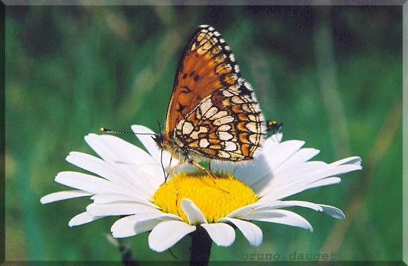 Mélitée noirâtre posée sur fleur blanche de Marguerite ailes repliées