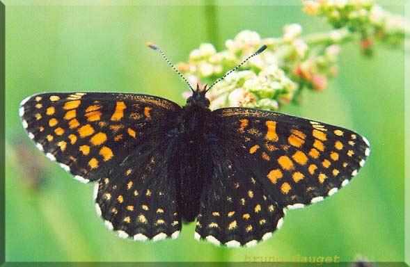 Mélitée noirâtre posée sur grappe florale d'Oseille ailes écartées