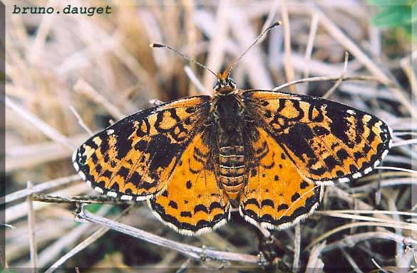 Mélitée orangée posée sur herbe sèche ailes écartées