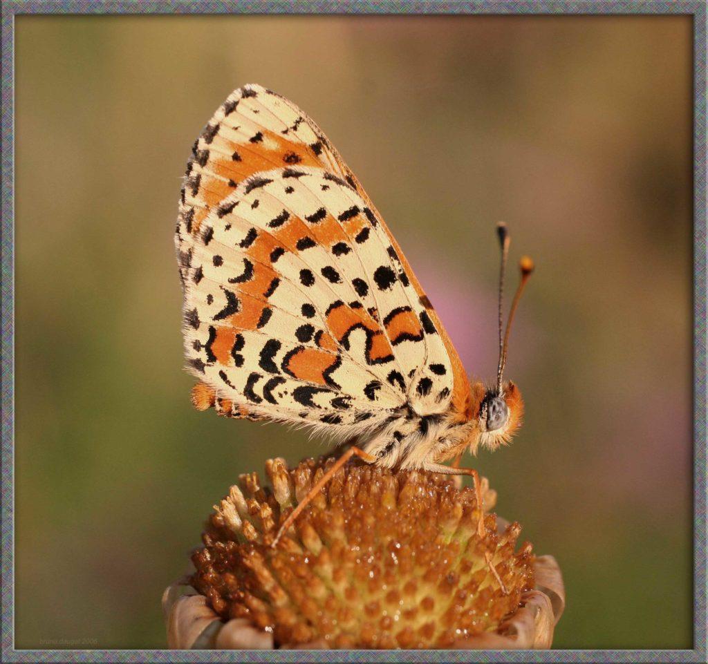 Mélitée orangée posé ailes repliées au soleil couchant