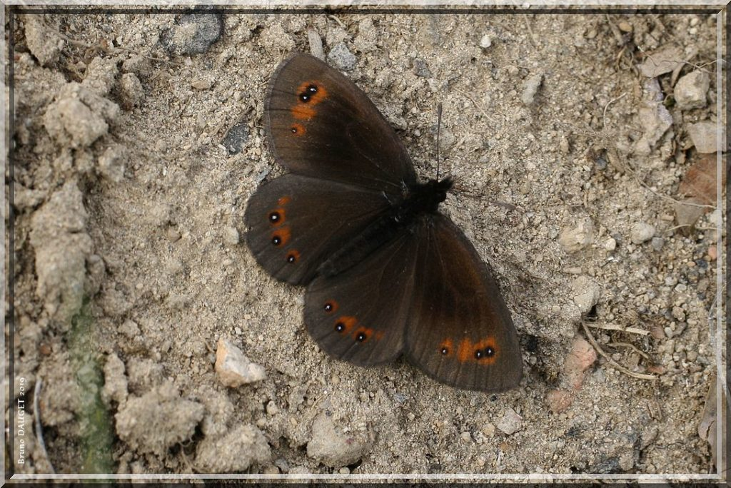 Moiré des Fétuques posé au sol ailes écartées