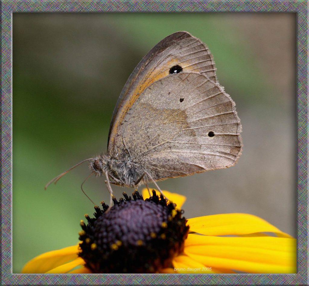 Myrtil mâle butinant fleur jaune de Rudbeckia ailes repliées