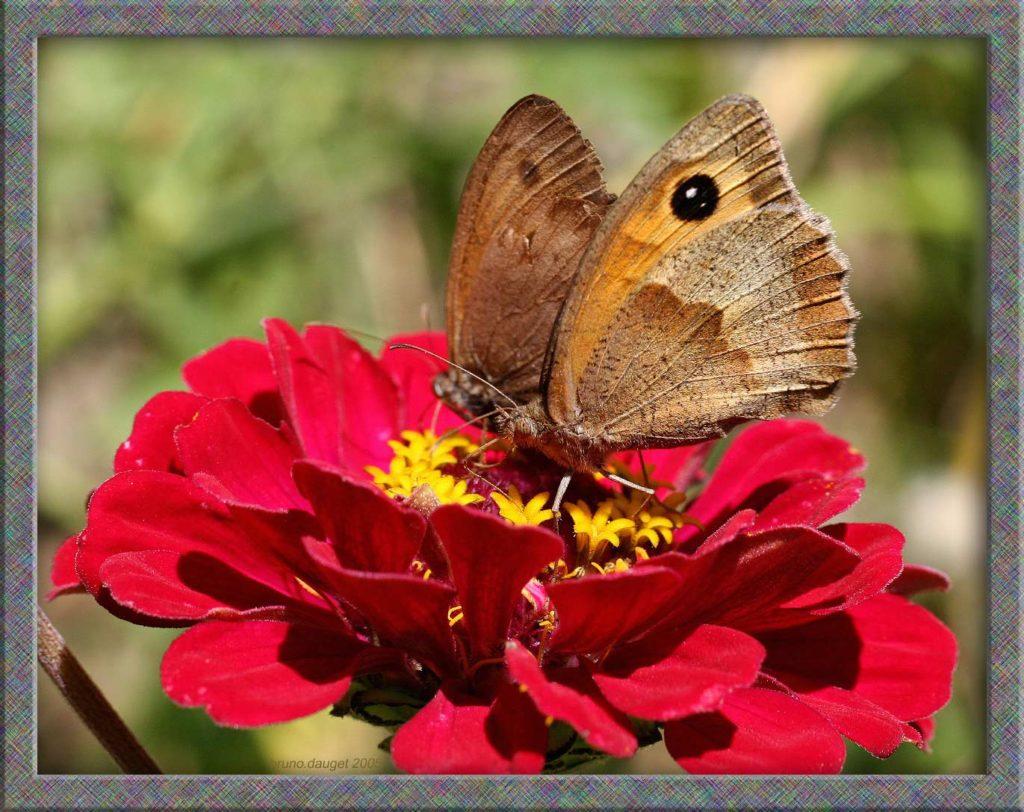 Couple de Myrtil sur fleur rouge de Zinnia