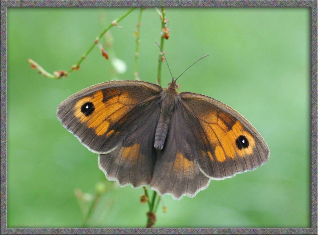Myrtil femelle posée ailes écartées