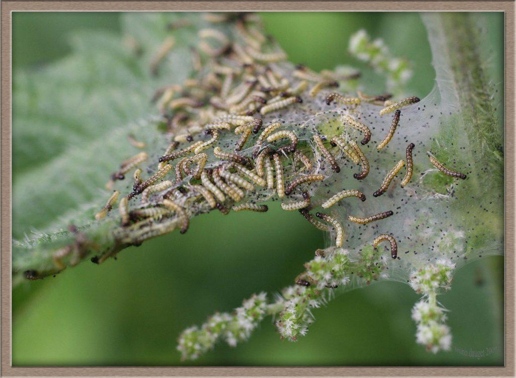 Groupe de chenilles Paon-du-jour sur toile de soie