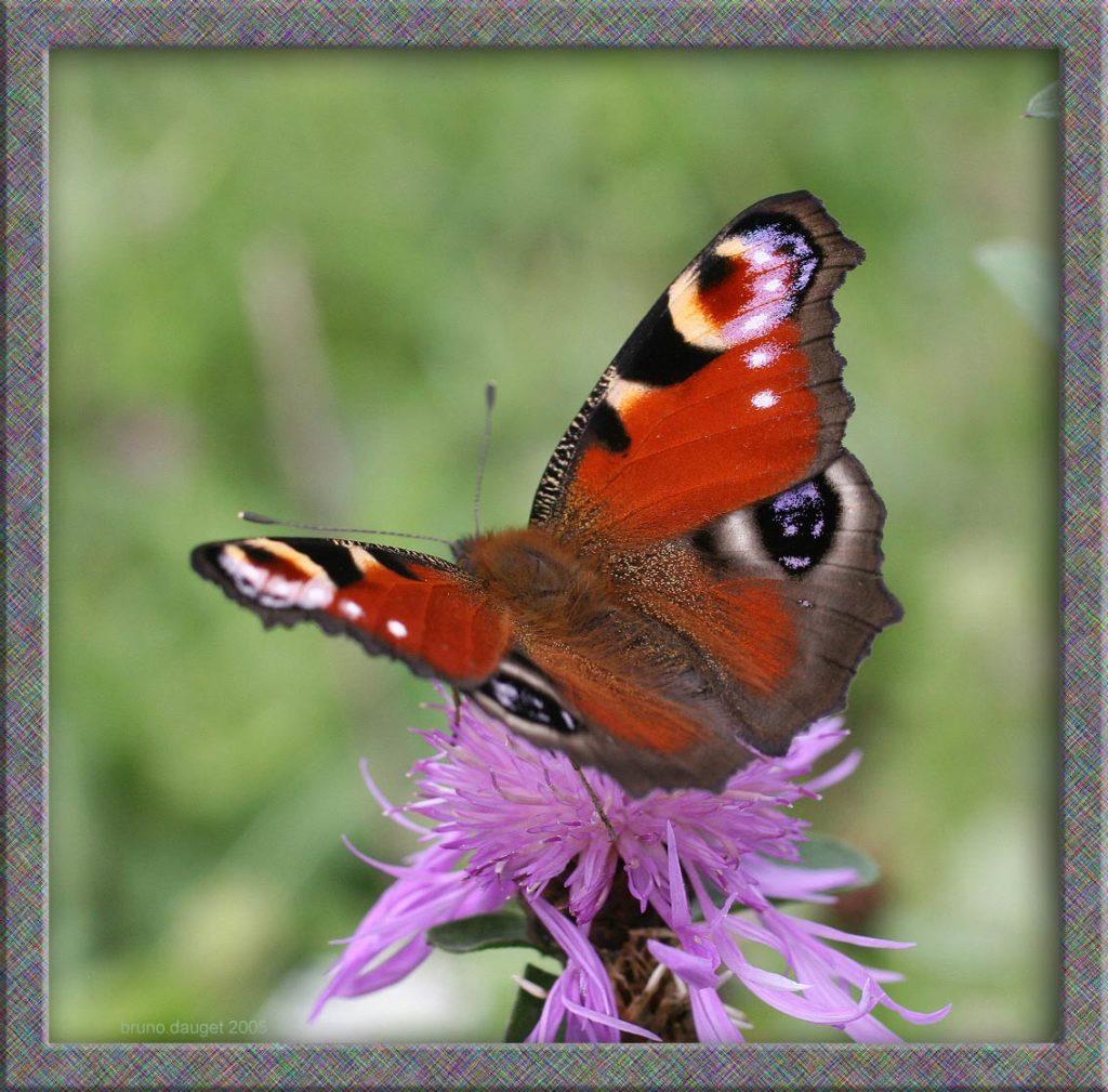 Paon-du-jour butinant fleur mauve de Centaurée ailes écartées